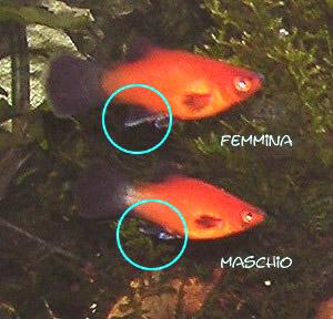 Maschio o femmina carpfishing pcf il forum italiano di for Uova di pesce rosso